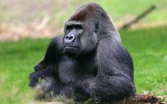 Gorilla #1) WON!!!